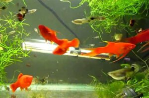 Swordtails for aquarium