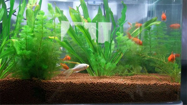 aquarium gardens for fishes 10